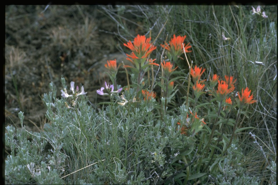 Farshot of wavyleaf paintbrush (Castilleja applegatei) and Idaho milkvetch (Astragalus conjunctus) among big sagebrush (Artemisia tridentata).