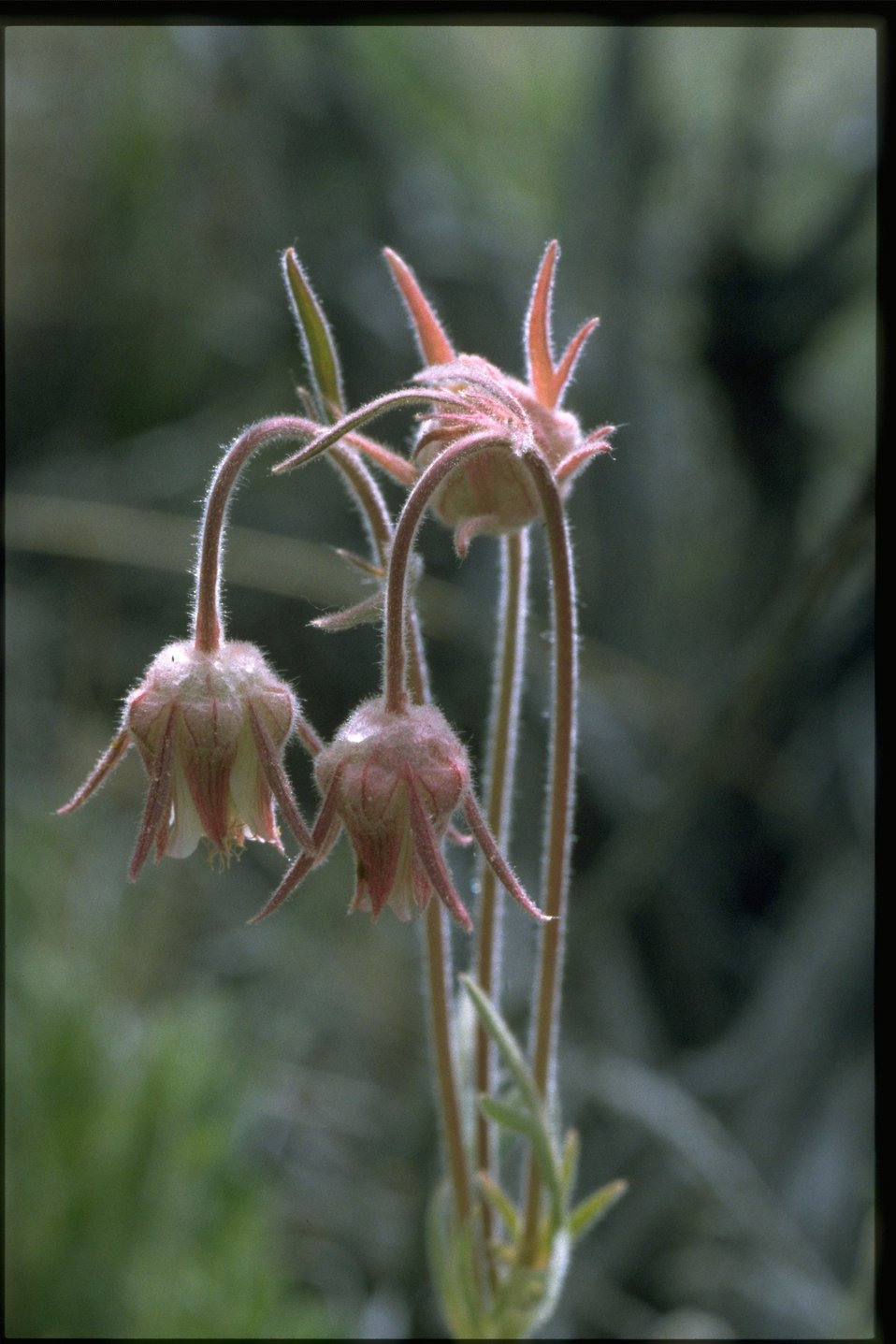 Closeup shot of old man's whiskers (Geum triflorum).