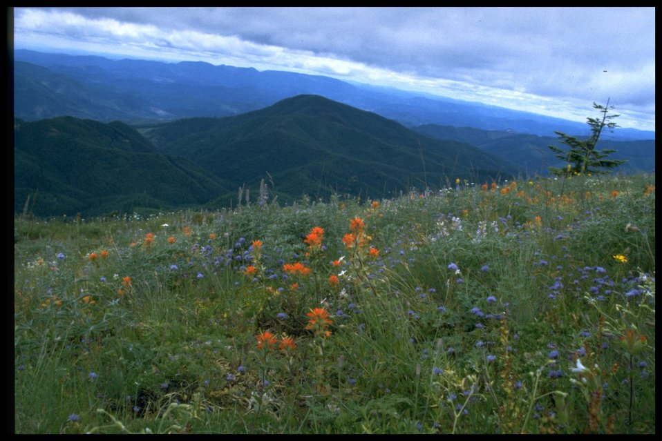Meadow, wildflowers, scenic view from Mary's Peak.