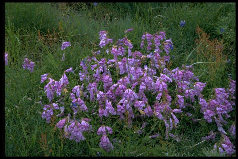 Medium shot of wildflowers (genus Penstemon).