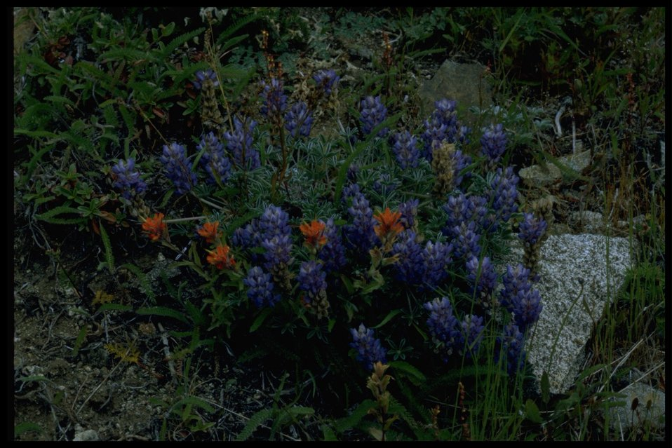 Medium shot of lupine and Indian paintbrush wildflowers (genus Lupinus and Castilleja).
