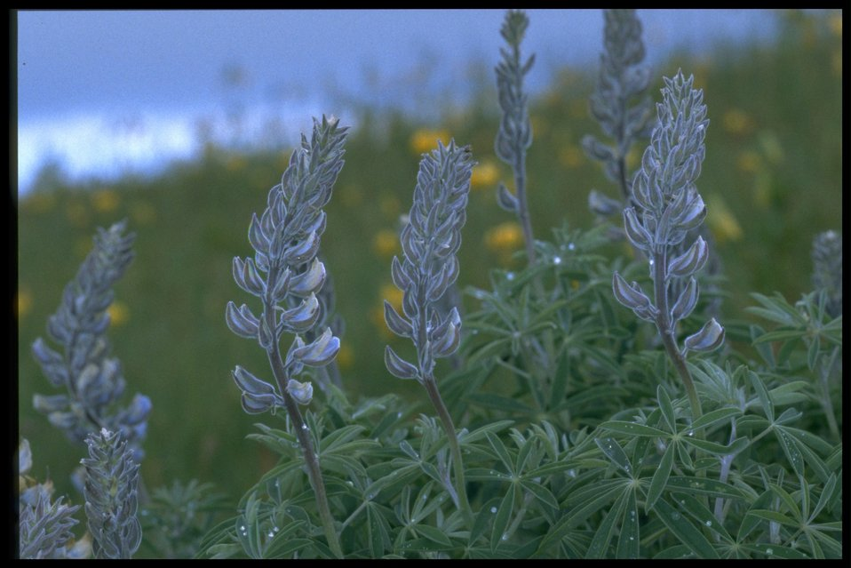 Medium shot of lupine (genus Lupinus).