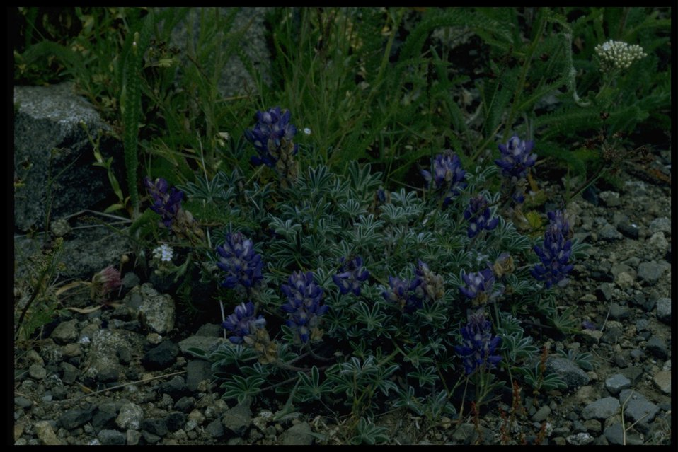 Farshot of lupine wildflowers (genus Lupinus).