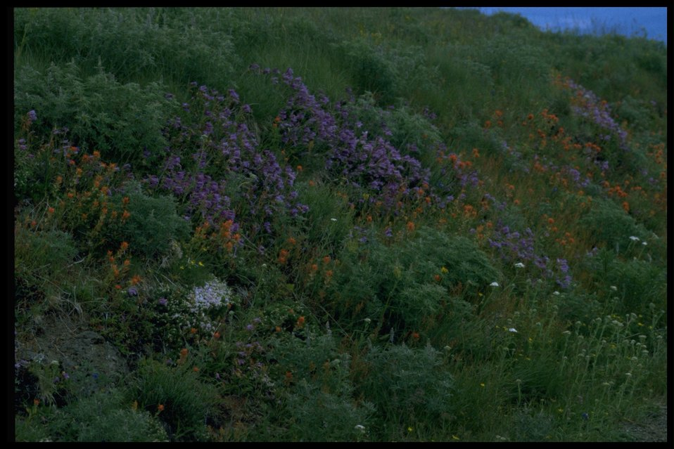 Wide shot of lupine (genus Lupinus).