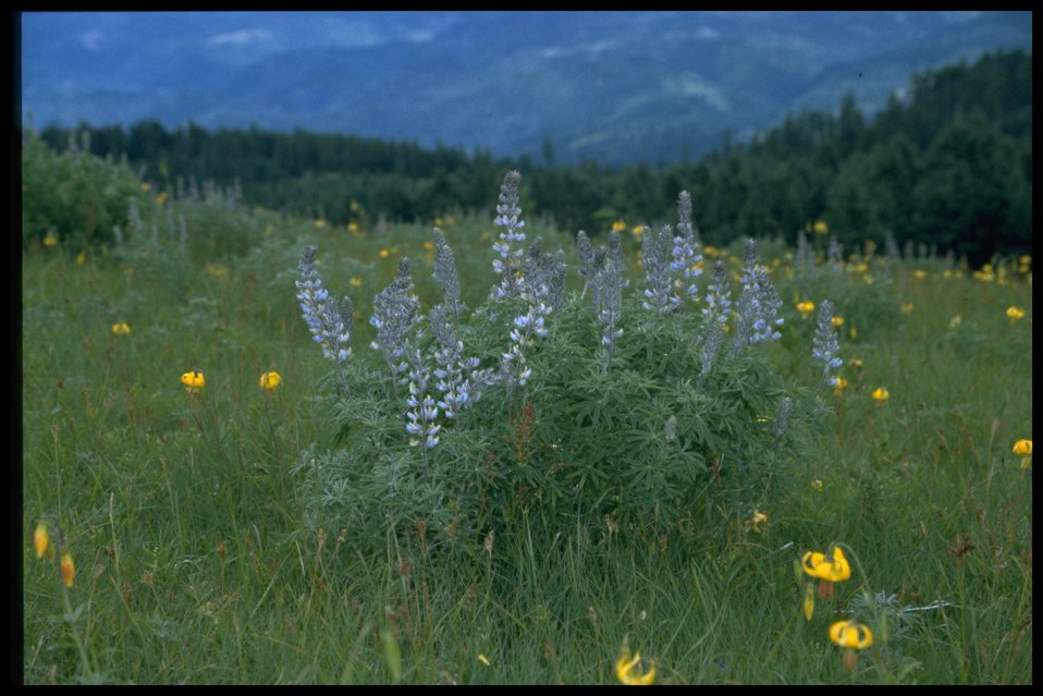 Farshot of lupine (genus Lupinus).