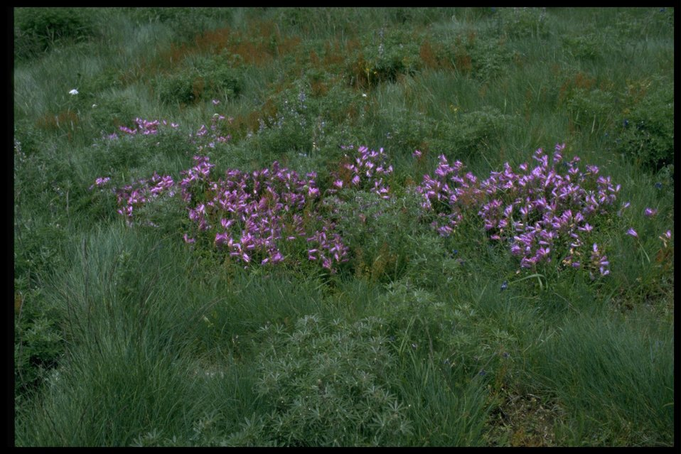 Wide shot of wildflowers (Penstemon)/