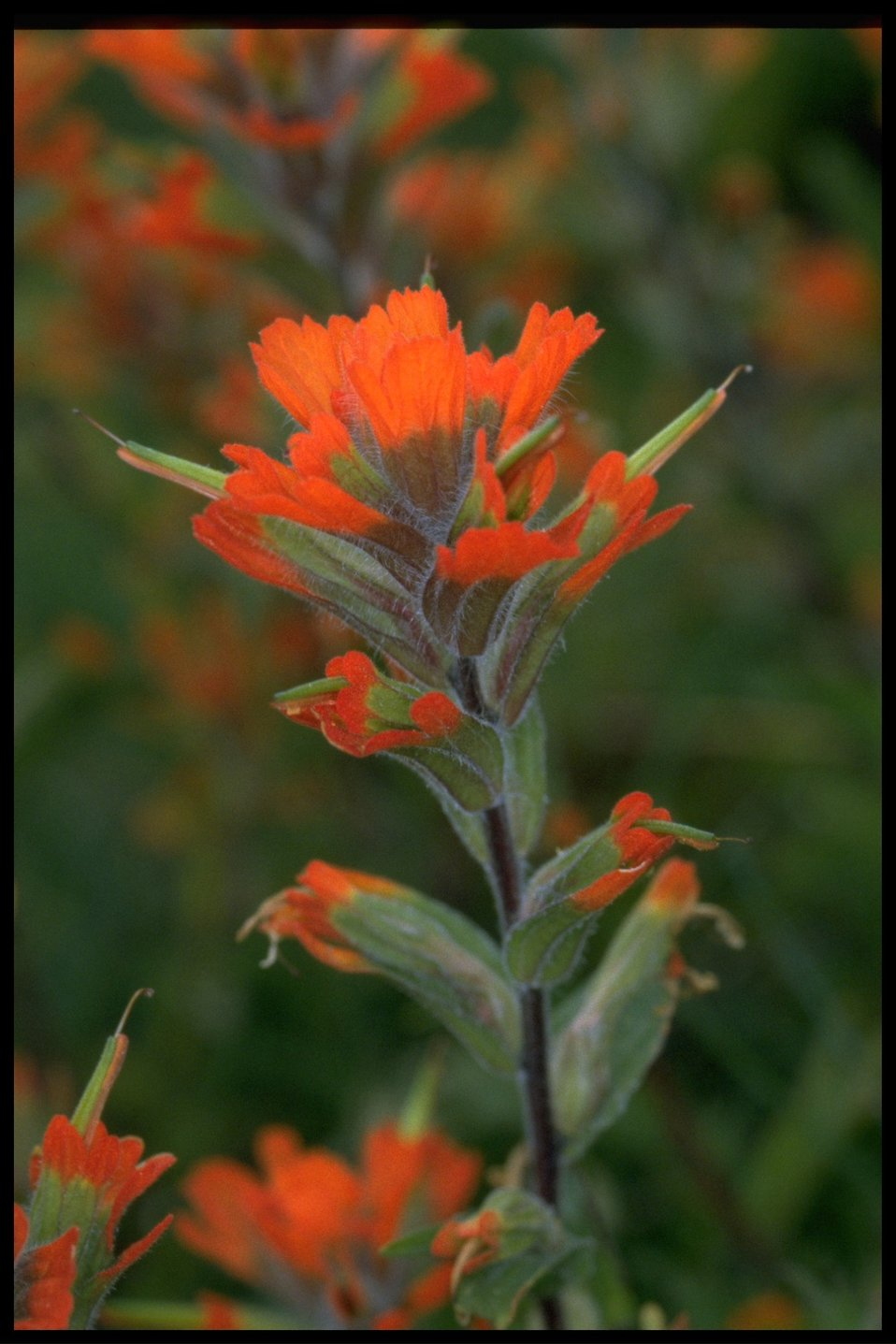 Closeup of wildflower (genus Castilleja).