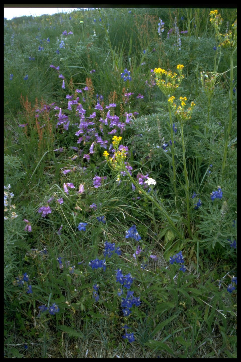 Medium shot of wildflowers (genus Lupinus, Penstemon, Senecio).