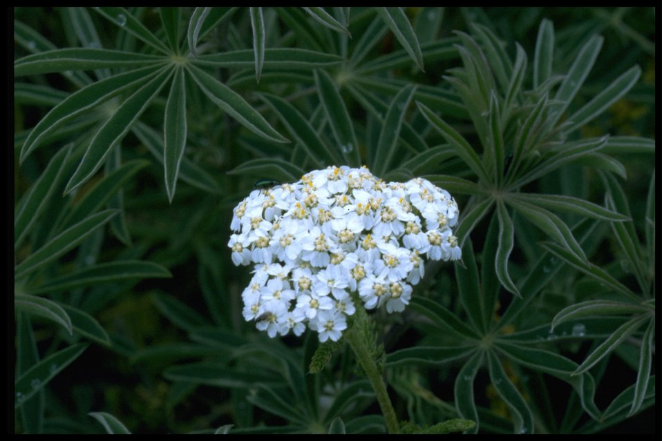 Medium shot of Yarrow wildflower (Achillea millifolium) and Lupine leaves.