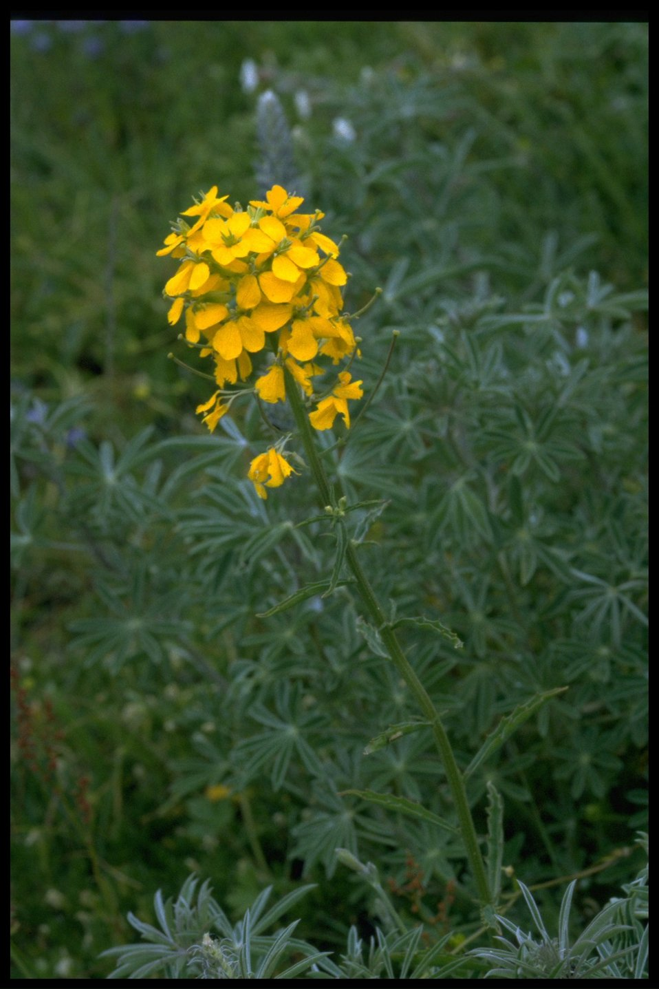 Medium shot of Erysimum cheiranthoides.