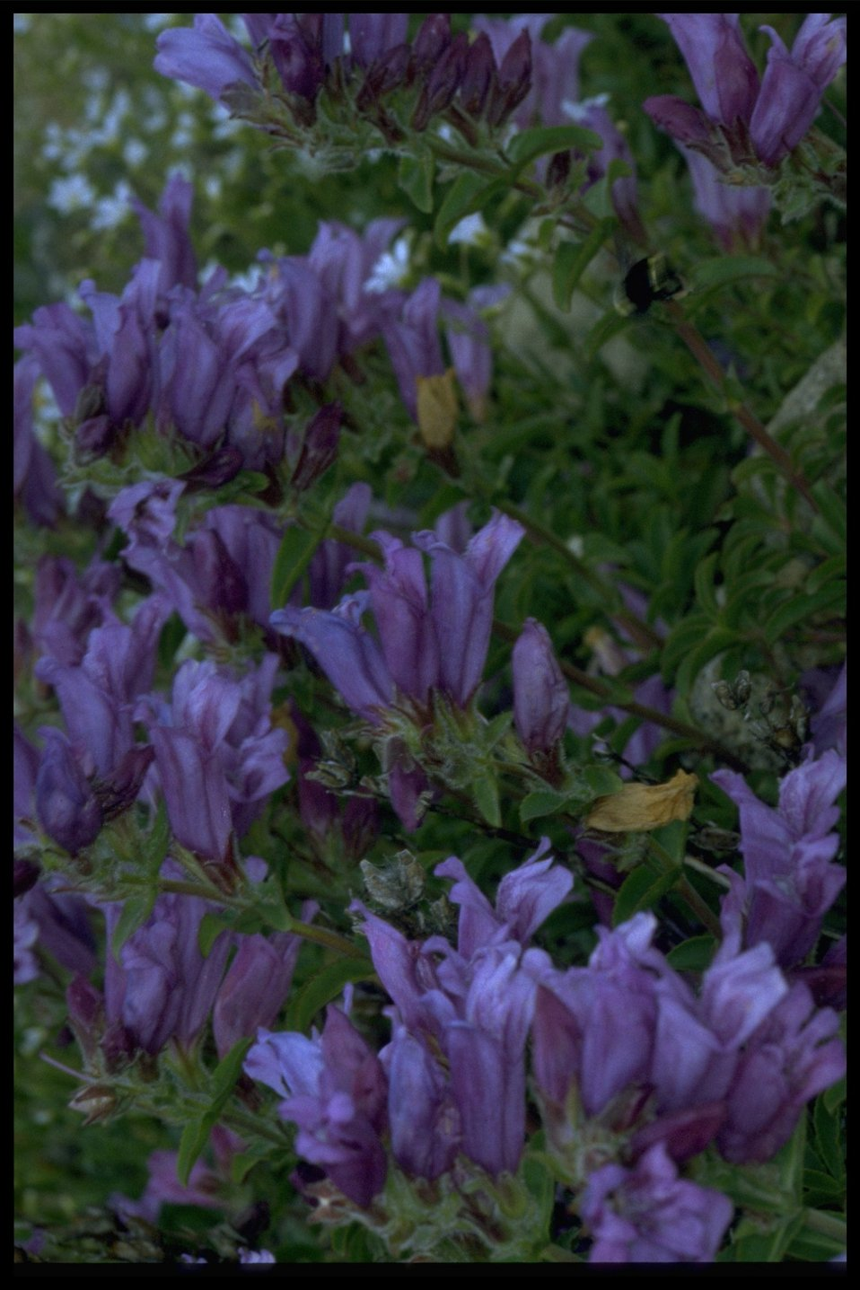 Medium shot of wildflowers (genus Penstemon).