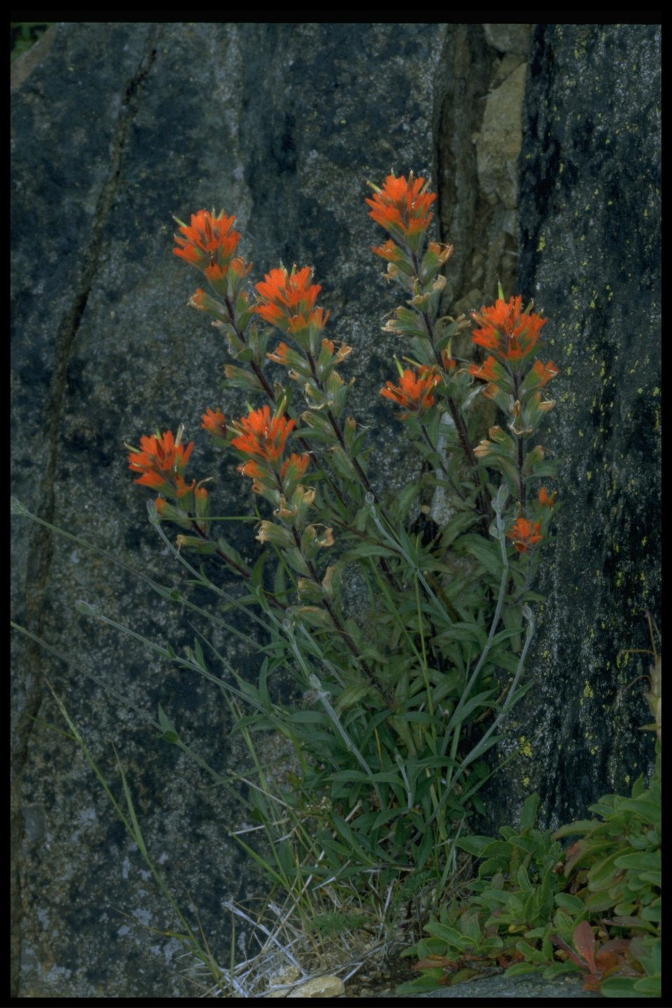Medium shot of wildflowers (genus Castilleja).