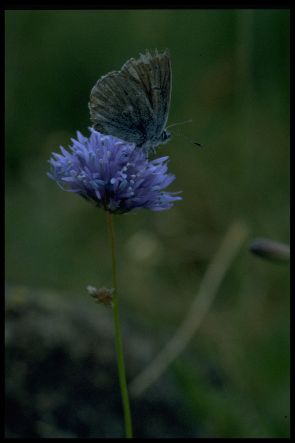 Medium shot of butterfly and Gilia (Ipomopsis) capitata.