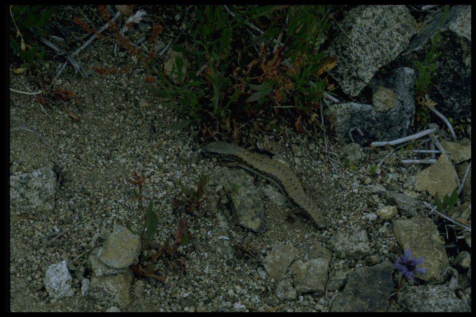 Lizard minus tail.