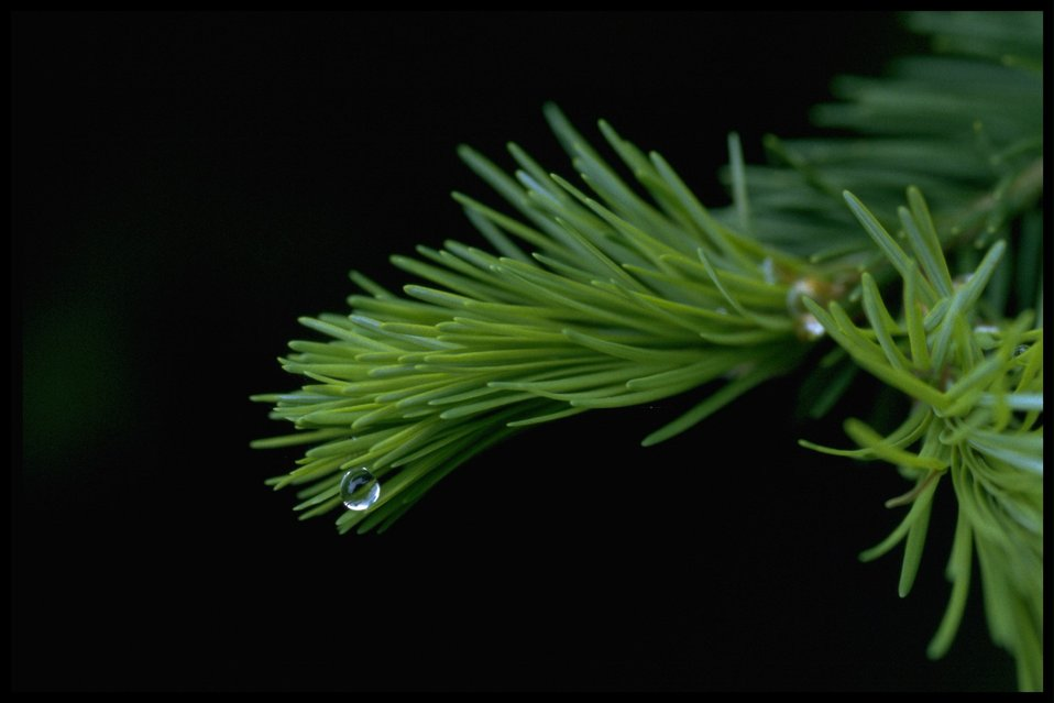 Closeup shot of new conifer growth.