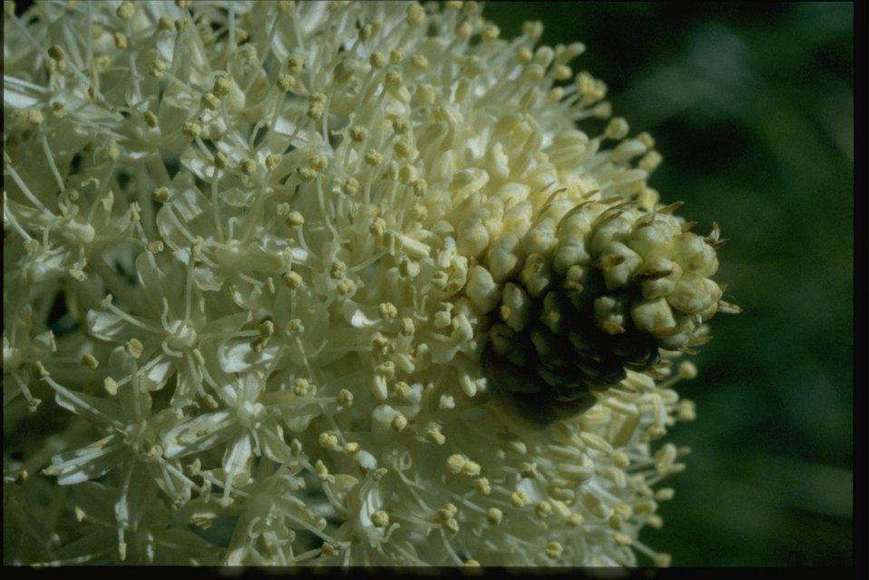 Closeup shot of Xenophyllum tenax.
