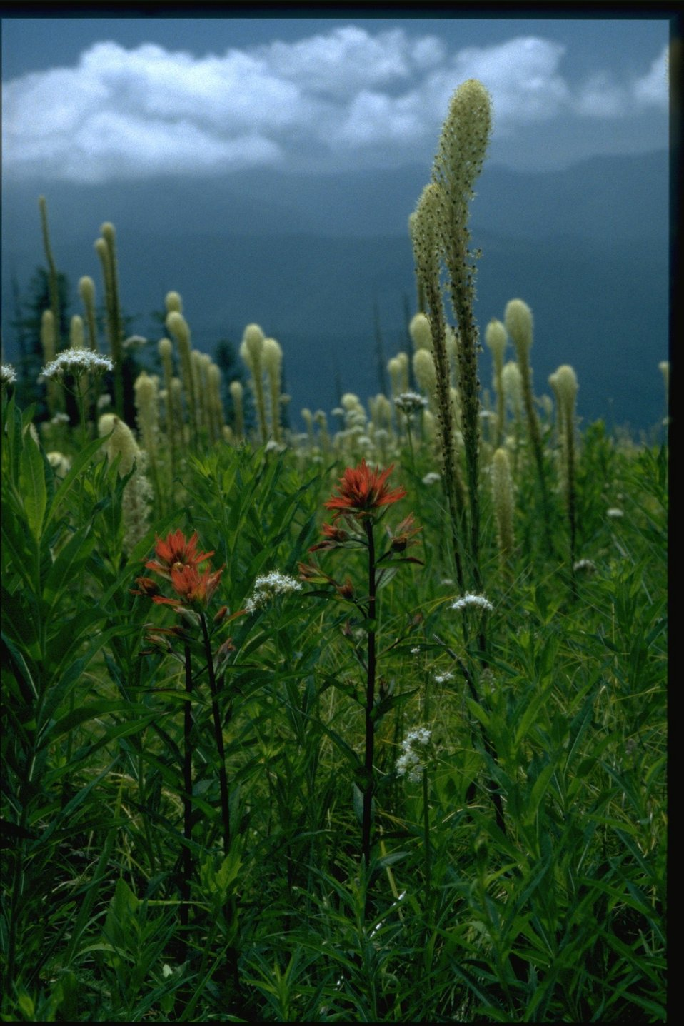 Medium shot of Castilleja, Xenophyllum, Archillea.