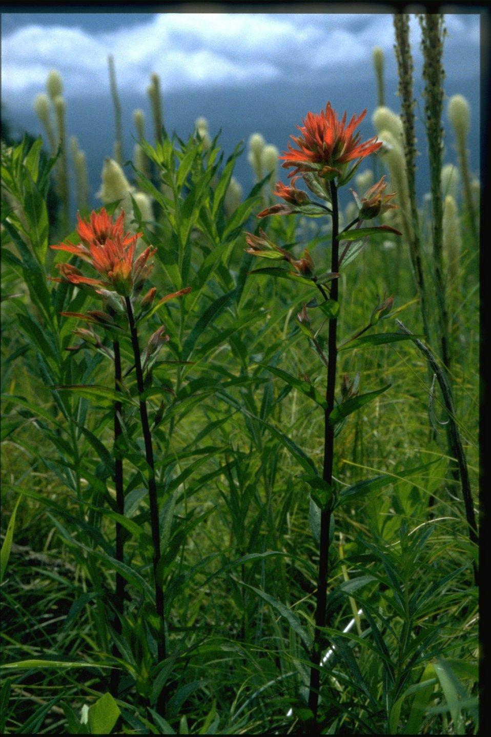 Medium shot of Castilleja, Xenophyllum, Archillea.