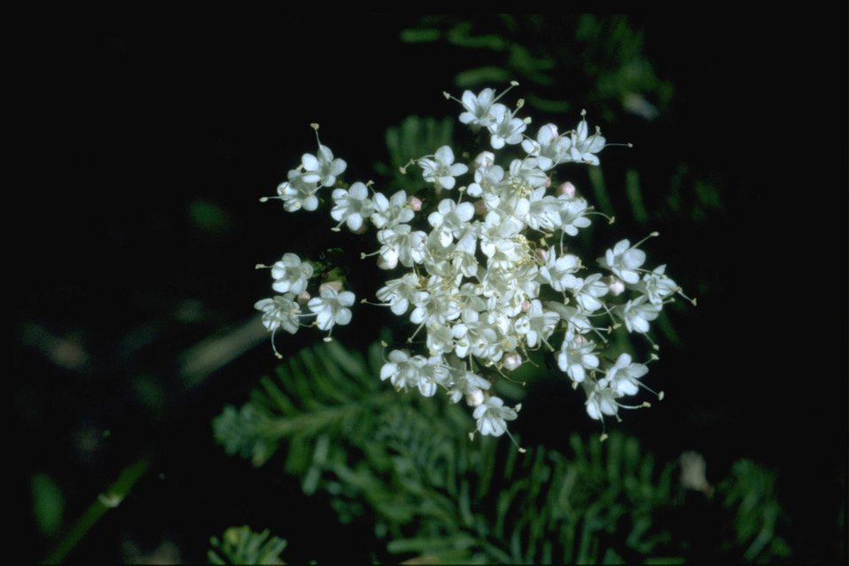 Medium shot of Valeriana sitchensis.