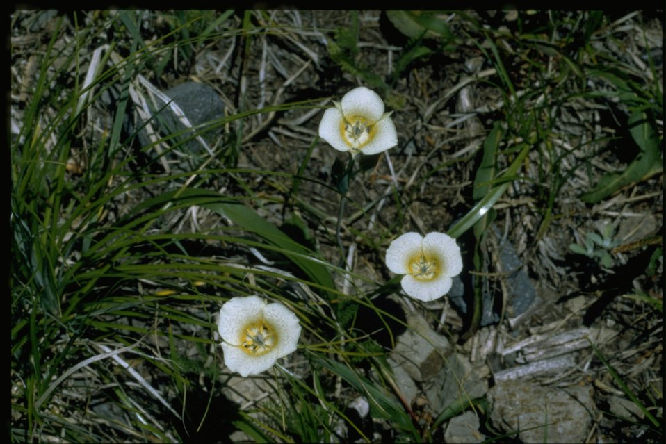 Medium shot of Calochortus subalpinus.