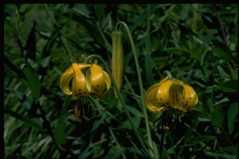 Medium shot of Lilium columbianum.