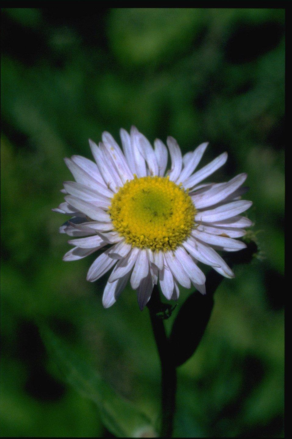 Closeup shot of wildflower (Asteraceae).