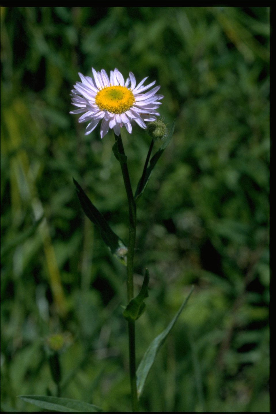 Medium shot of wildflower (Asteraceae).