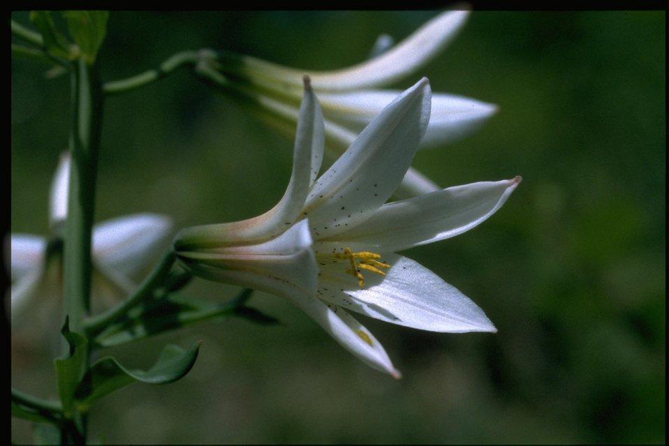 Closeup shot of Lilium washingtonianum.