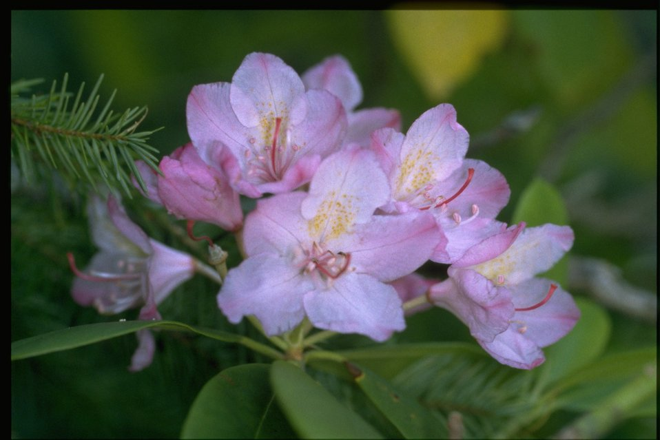 Closeup shot of Rhododendron macrophyllum.