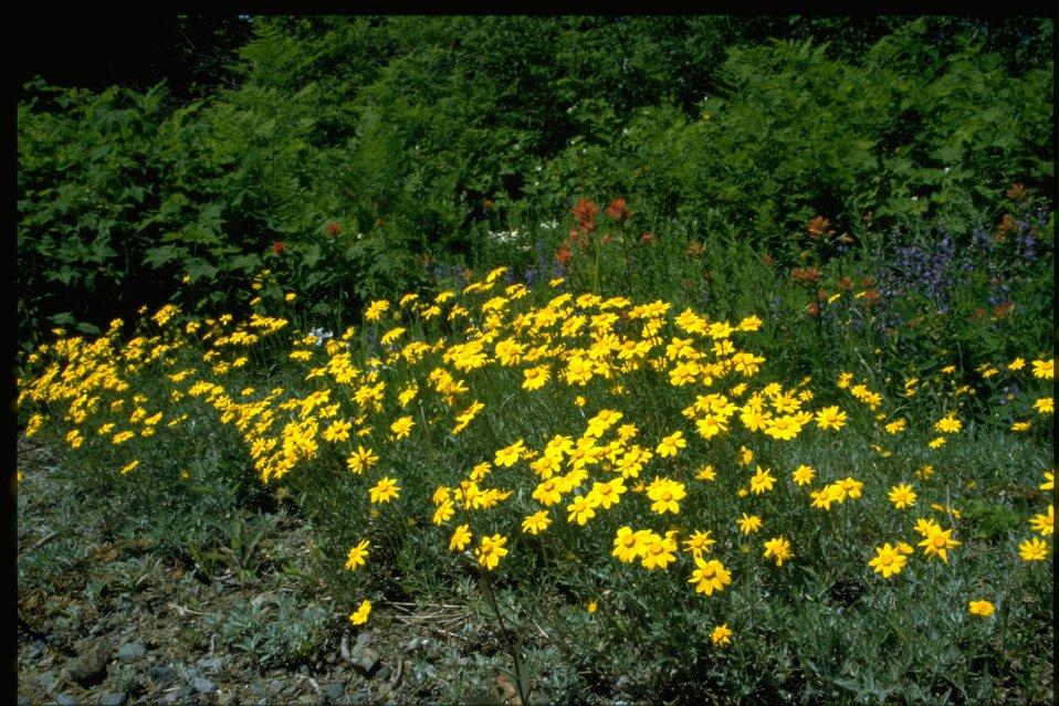 Farshot of Asteraceae, Eriophyllum lanatum.
