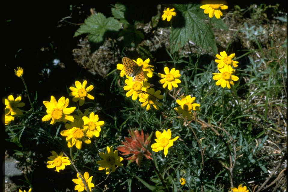 Medium shot of of Asteraceae, Eriophyllum lanatum.