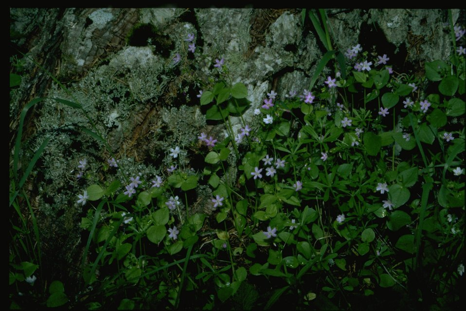 Farshot of Claytonia sibirica.