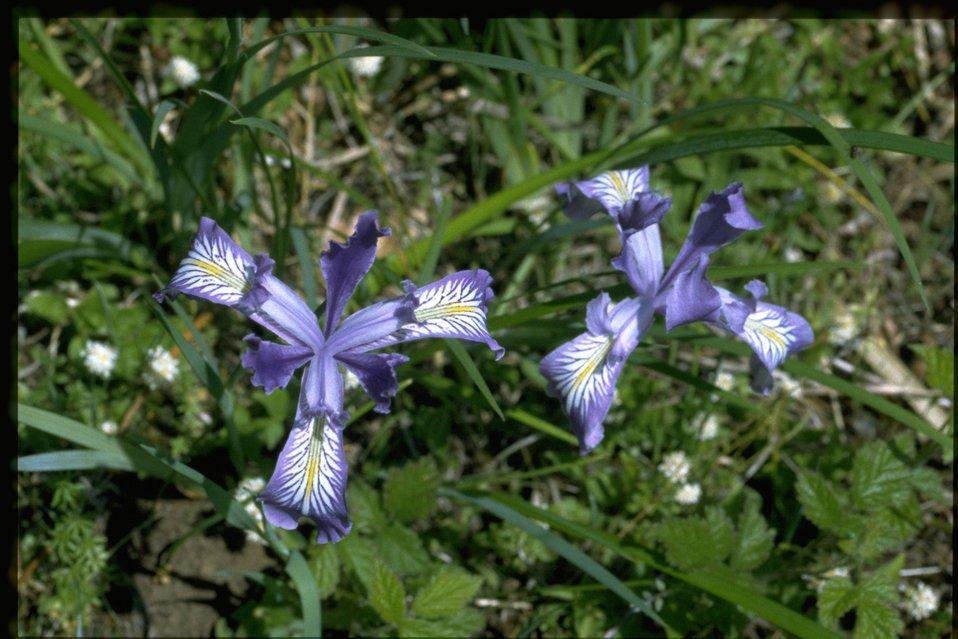 Medium shot of Iris tenax.