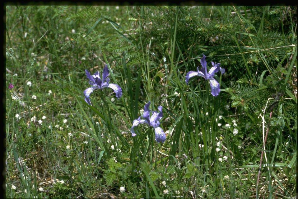 Farshot of Iris tenax.