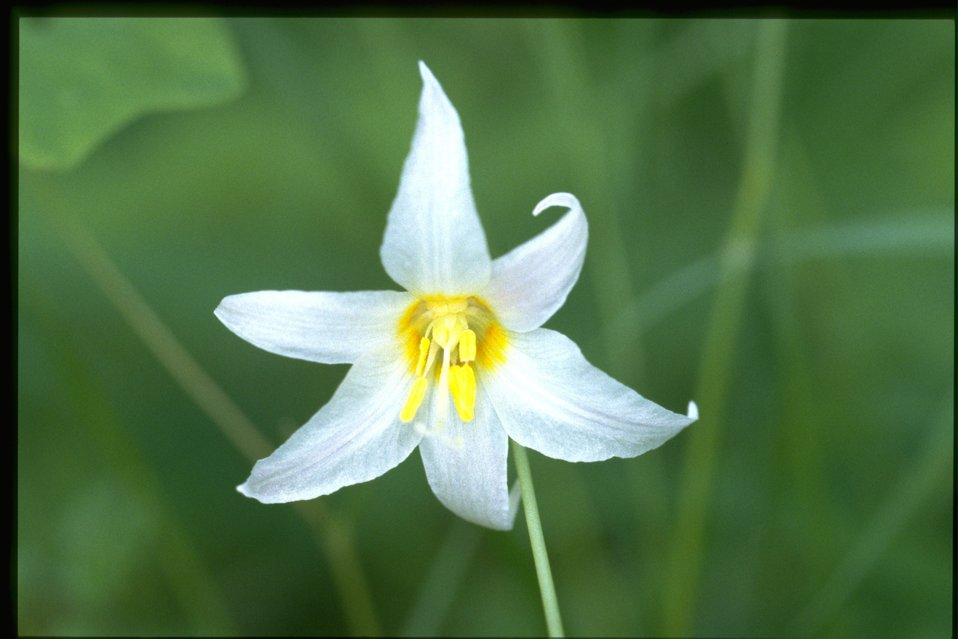 Closeup shot of Erythronium oreganum.