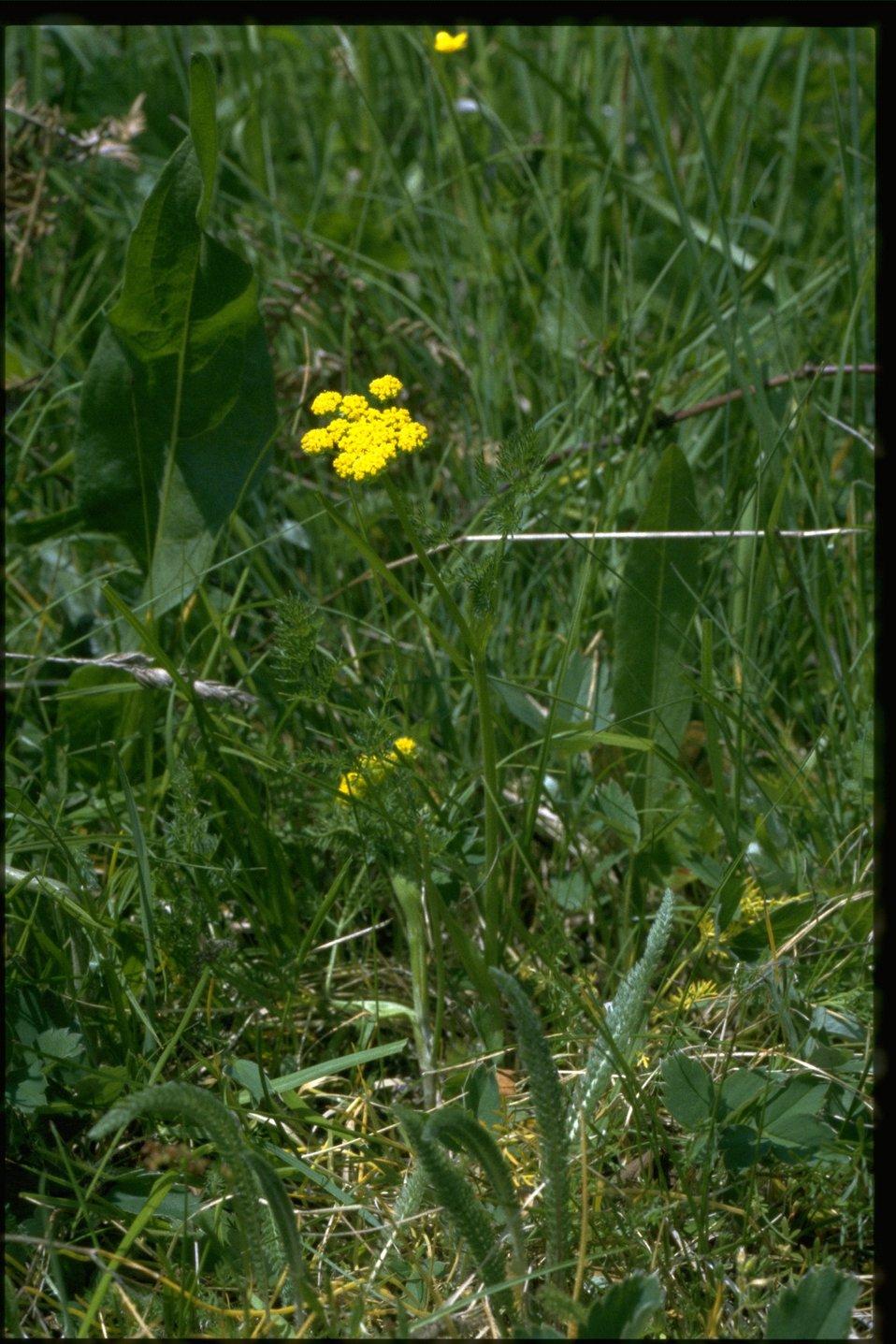 Farshot of Lomatium utriculatum.