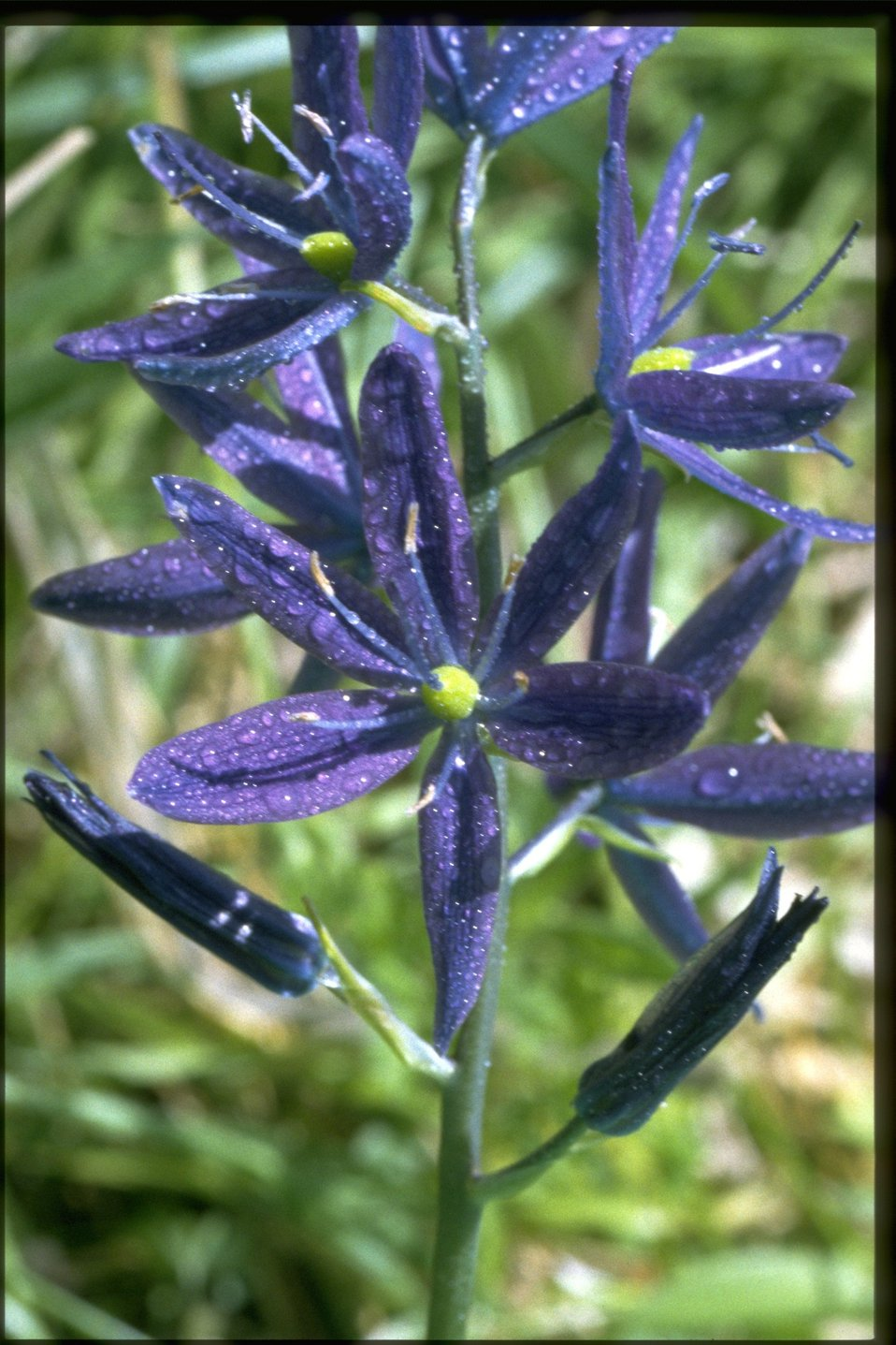 Medium shot of Camassia quamash.