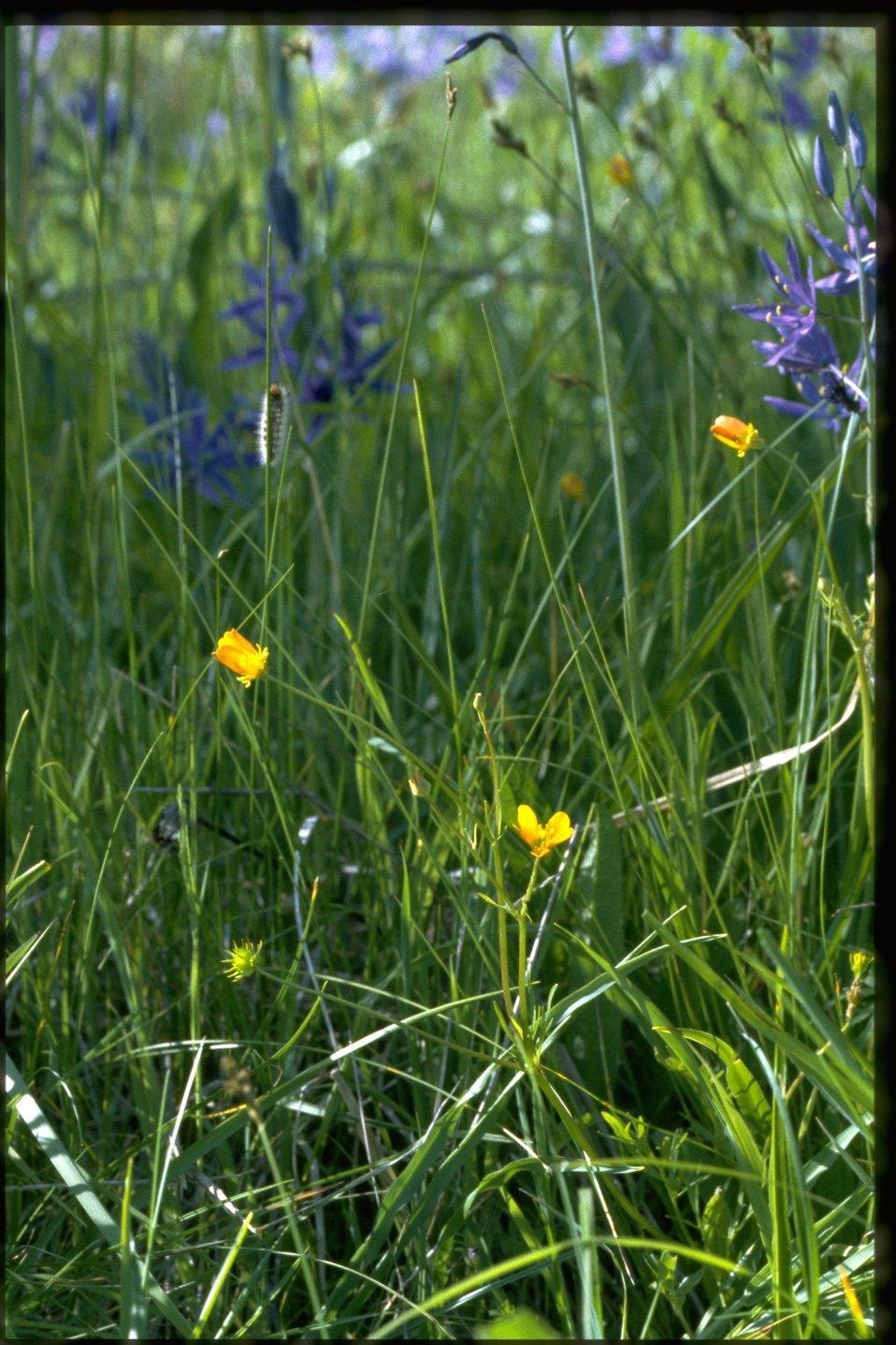 Farshot of Ranunculus.