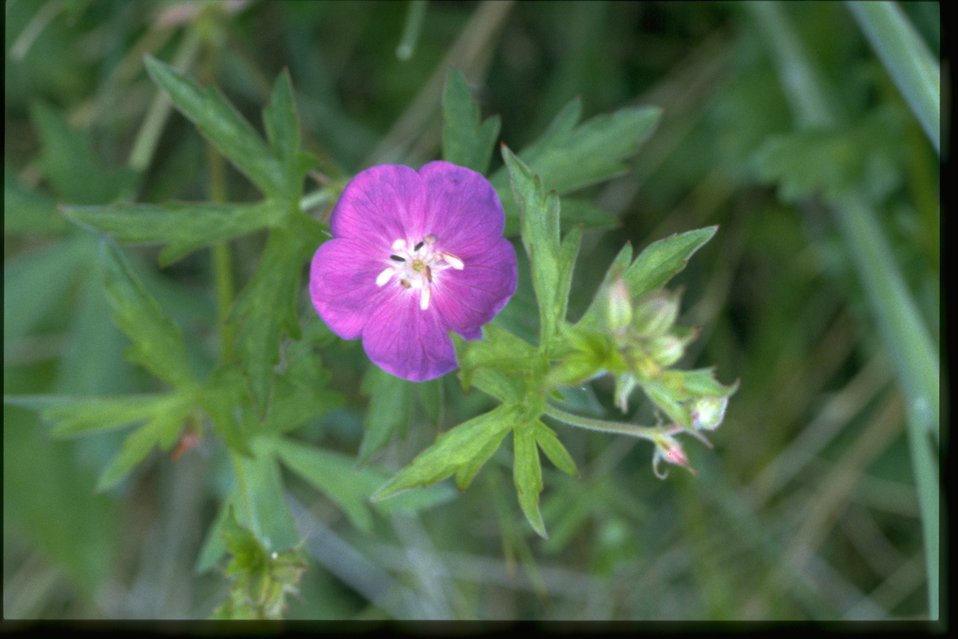 Medium shot of Geranium oreganum.