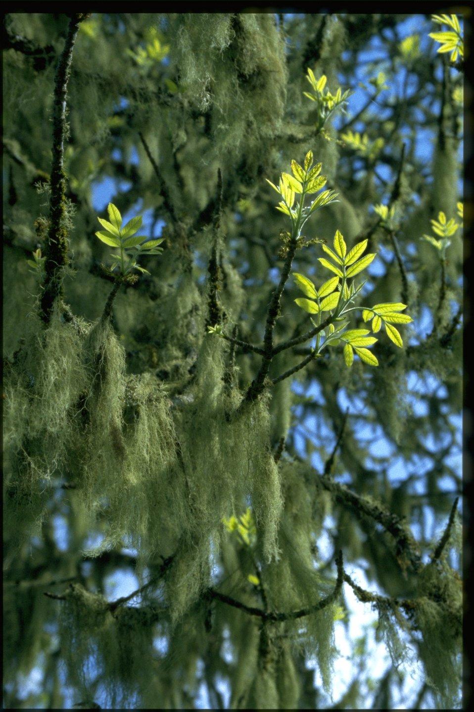 Farshot of Fraxinus latifolia and Alectoria lichen.