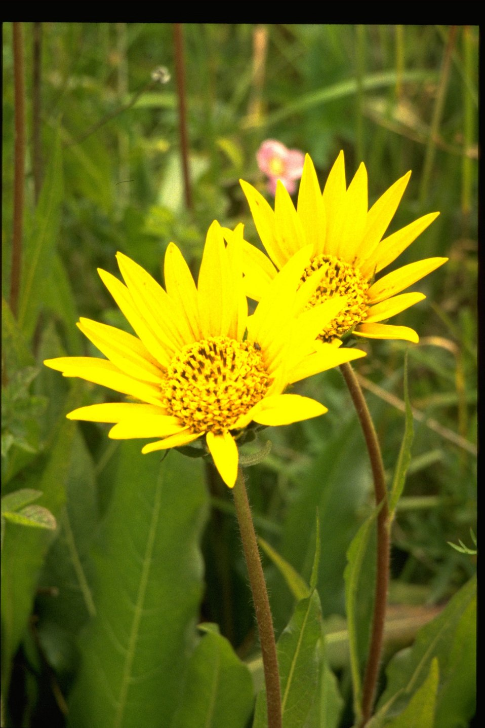 Medium shot of Narrowleaf Mule Ears, Wyethia angustifolia.