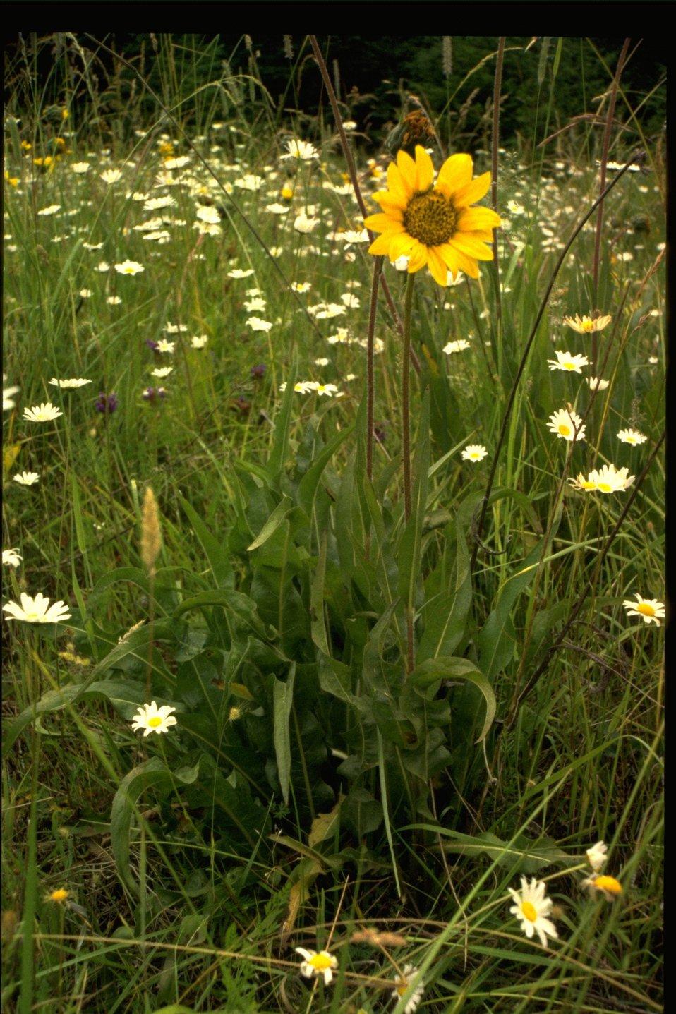 "Medium shot of yellow comp Wyethia, white comp ""Shasta"" daisy."