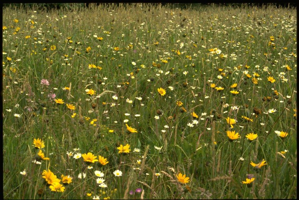 Scenic view of McGowan Meadow wildflowers.