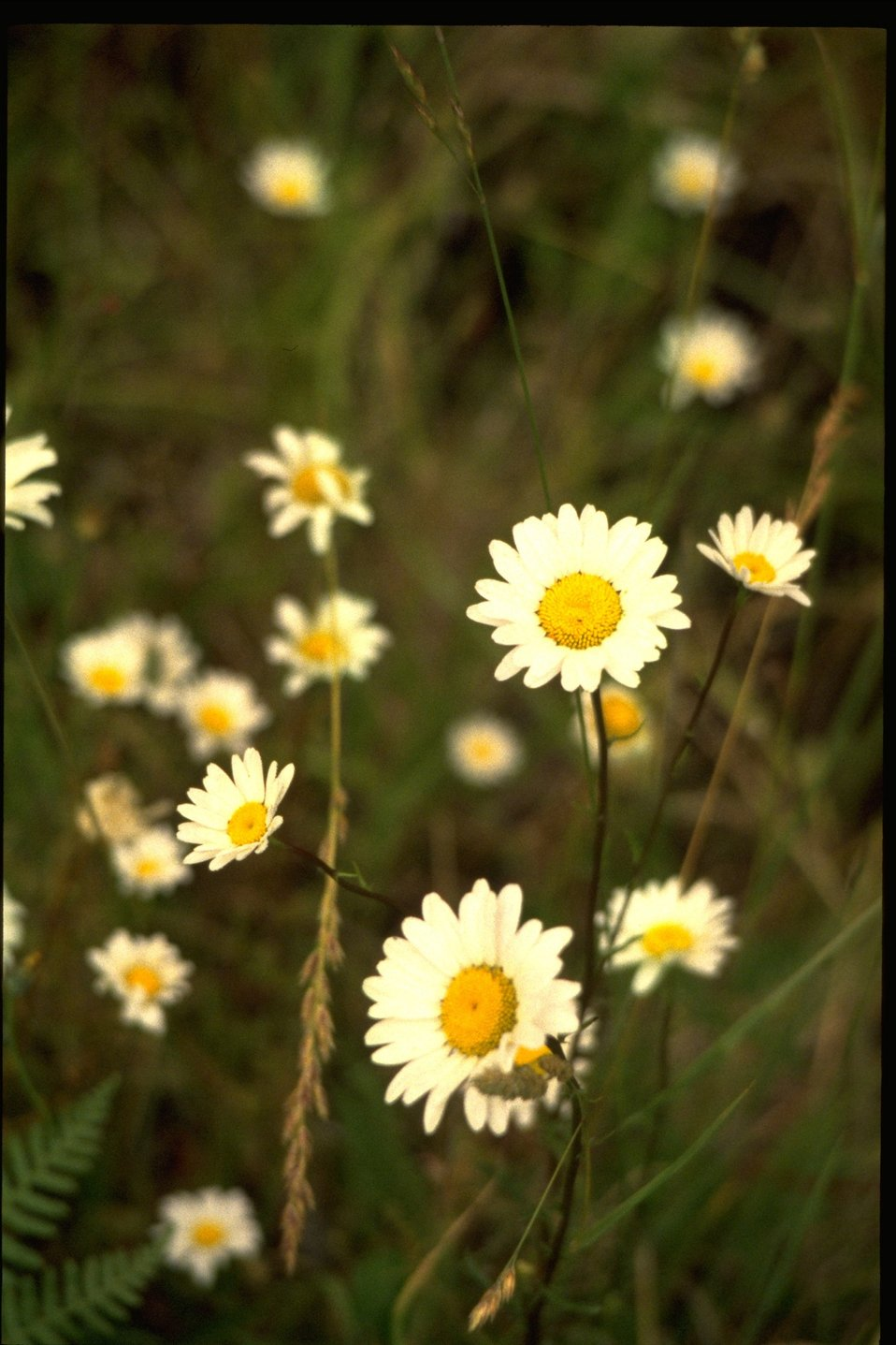 Medium shot of Leucanthemum vulgare.