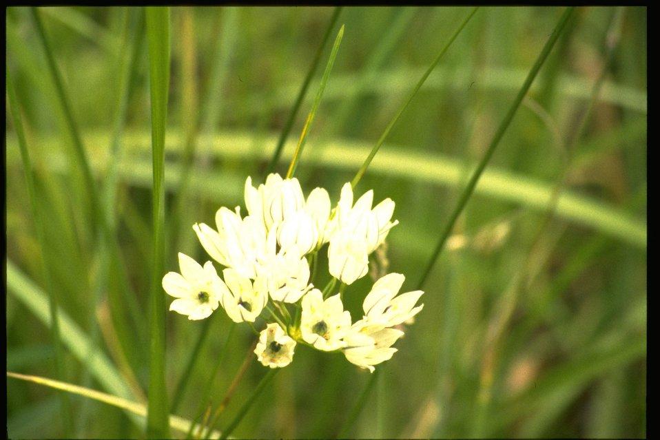 Medium shot of Brodiaea hyacinthina.