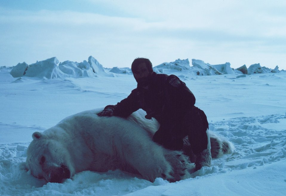 Budd Christman with large sedated polar bear  - Ursus maritimus. Bears were measured and tagged for future study.