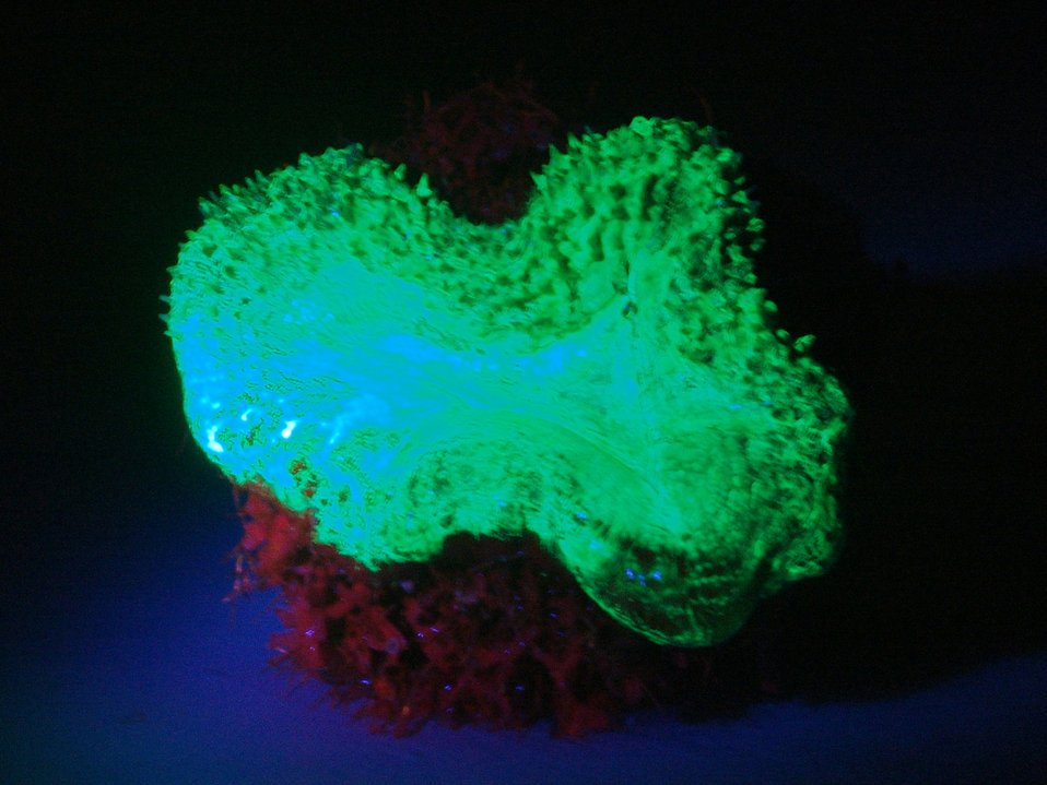 Mussa angulosa, a single polyp, is showing green fluorescence. This sample was found at 60 to 70 foot depth.
