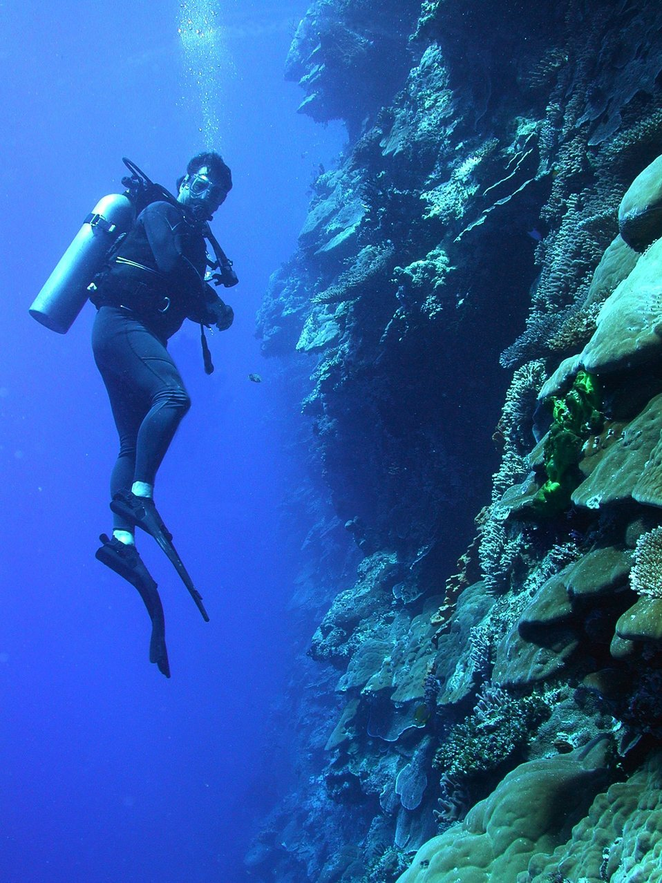 A diver explores the vertical distribution of corals on a Pacific wall.
