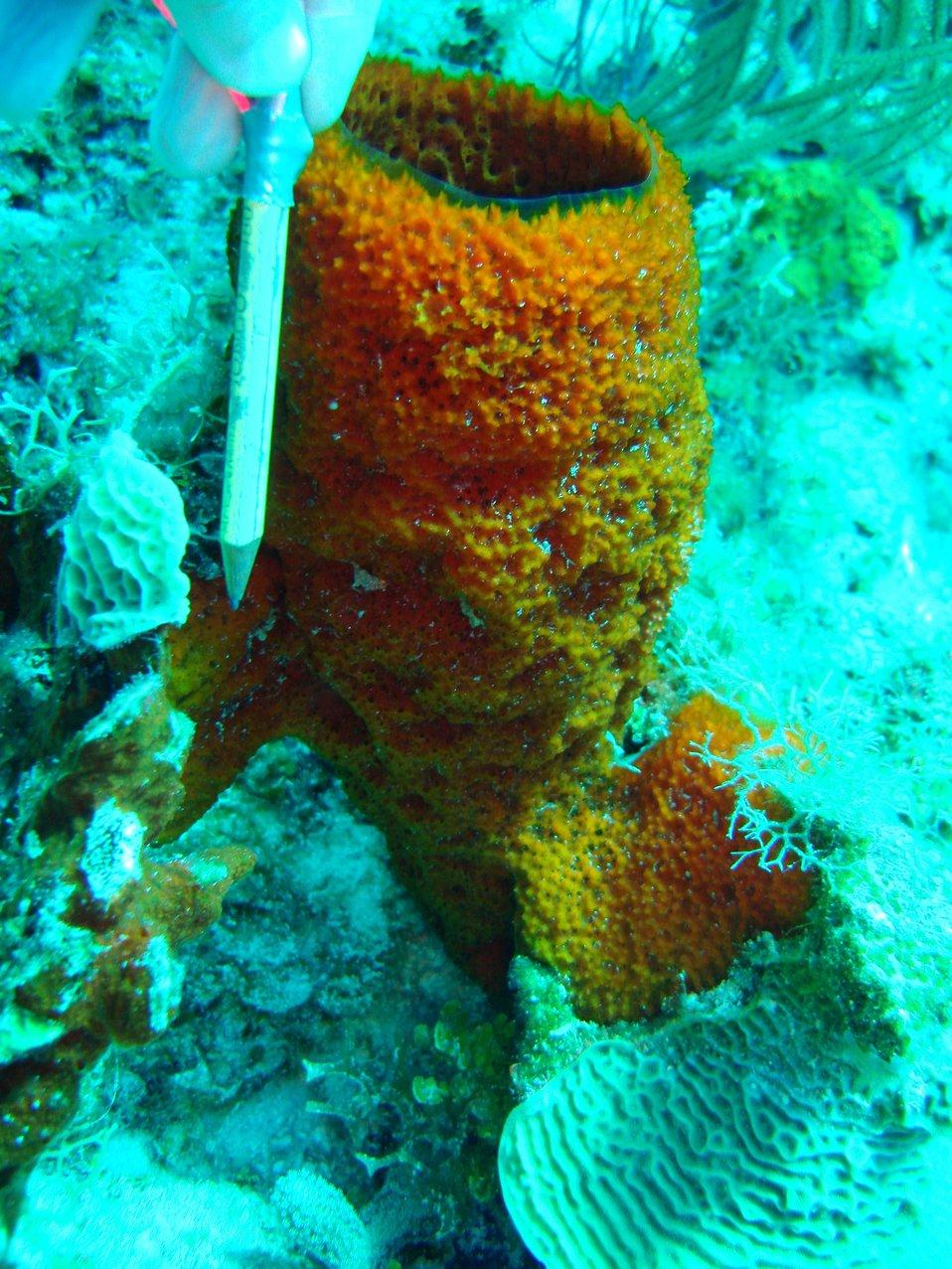Sponge (Mycale jamacensis)
