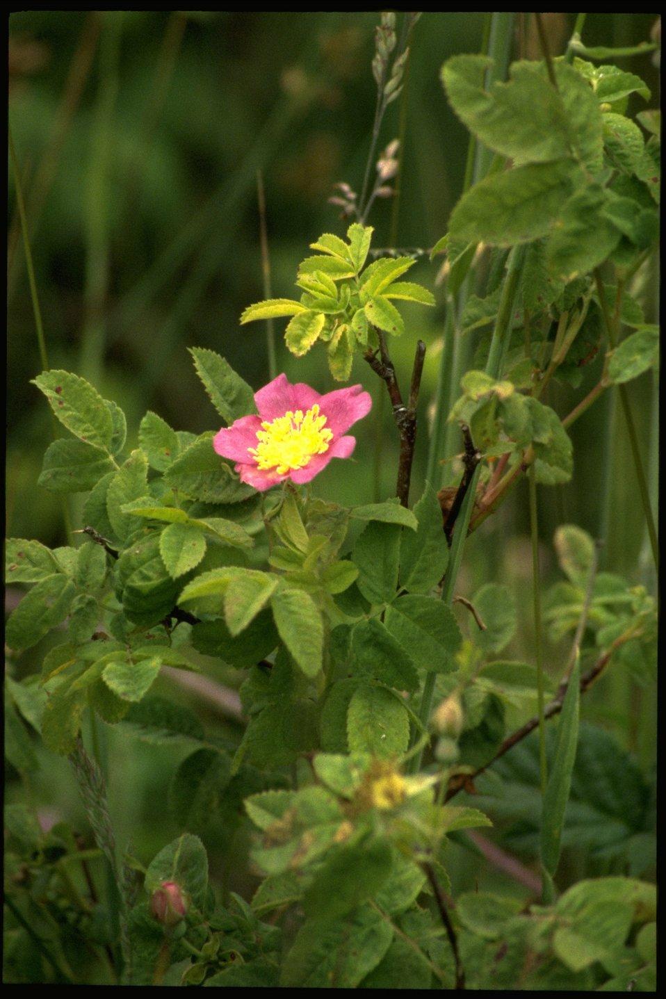Medium shot of wildflower, genus Rosa.